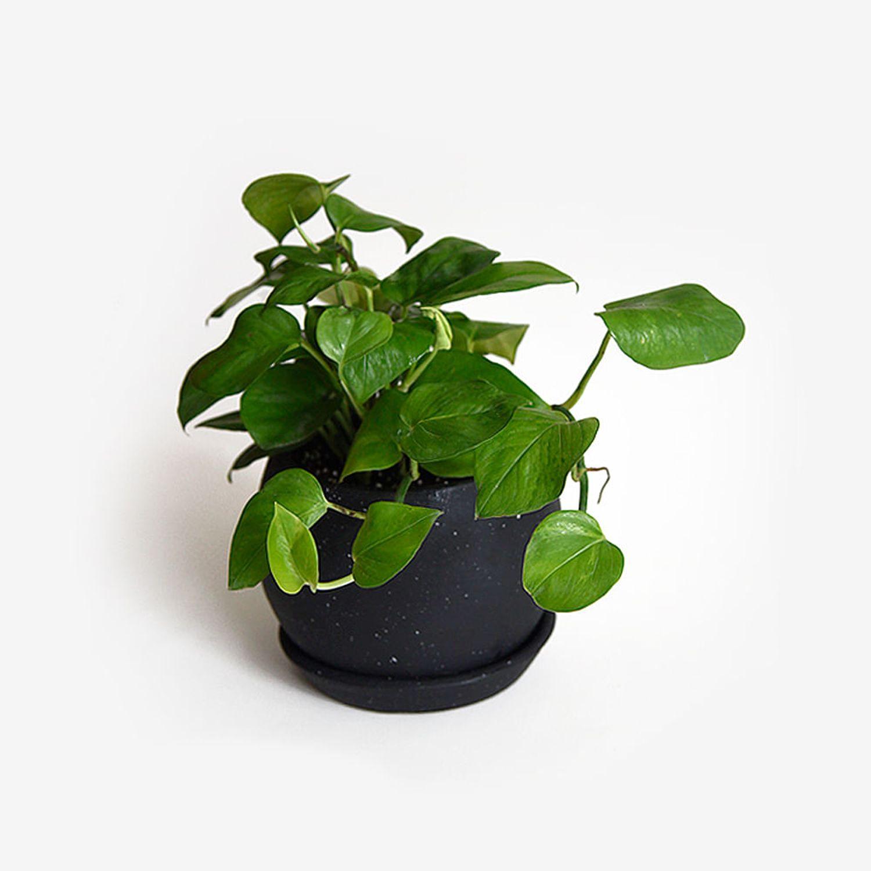 Planta con Maceta Negra Golden Potus Boa Colgante - Planta con Maceta Negra Golden Potus Colgante
