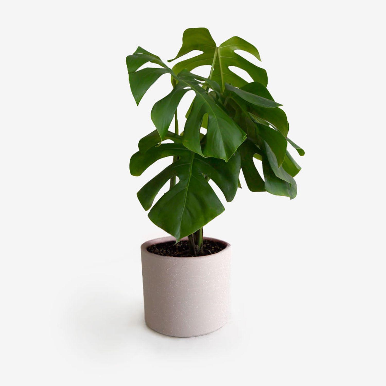 Planta con Maceta Beige Monstera Deliciosa Costilla de Adán